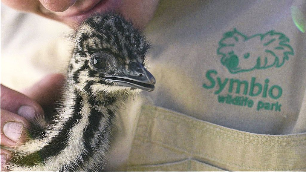 Australia's Biggest Bird has the Most Adorable Babies Imaginable