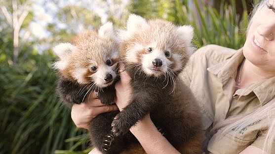 Symbio's Red Panda Cubs are Growing Up