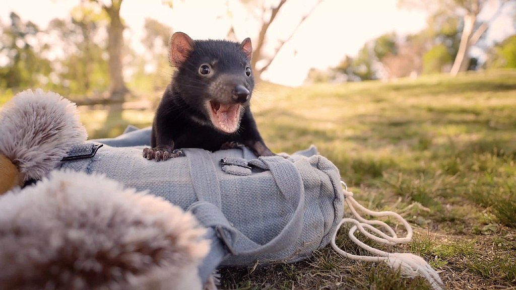 Cutest Tasmanian Devil Joeys Ever!
