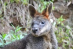 While bushwalking you may spot a shy wallaby.
