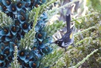 Blue Puya in flower mid-Oct to mid-Nov